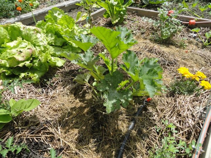 Courgette et paillage faim d 39 azote ou sol trop frais for Azote pour jardin